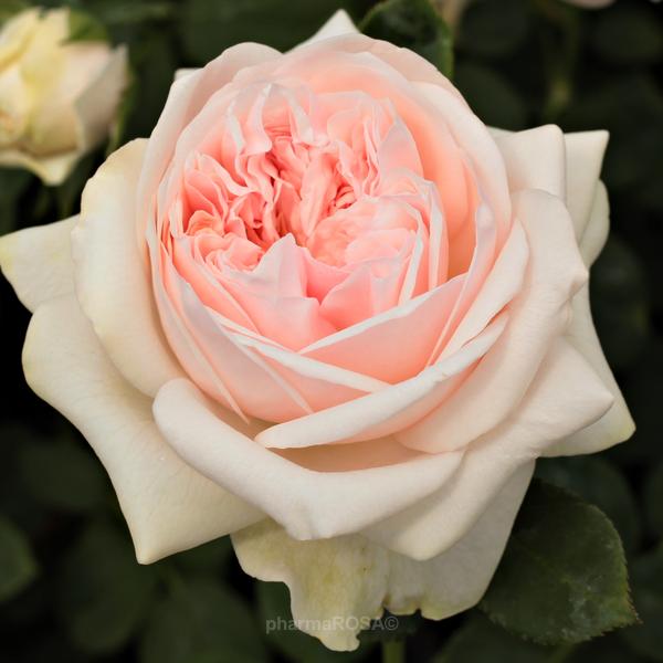 Auslight English Rose Pink Intensive Fragrance Order Roses Online